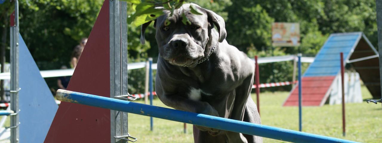 Agility dog, Obéissance, Fly ball